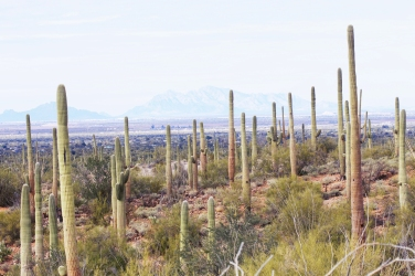 Cacti in Saguaro National Park